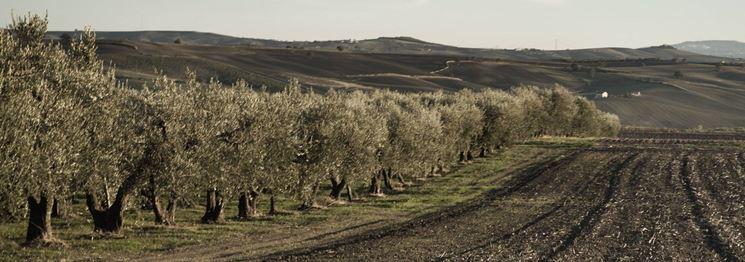 Filari di olivo ascolano
