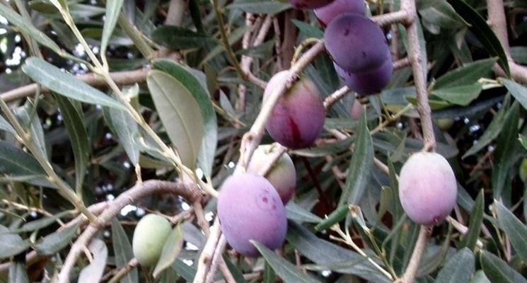 Oliva biancolilla