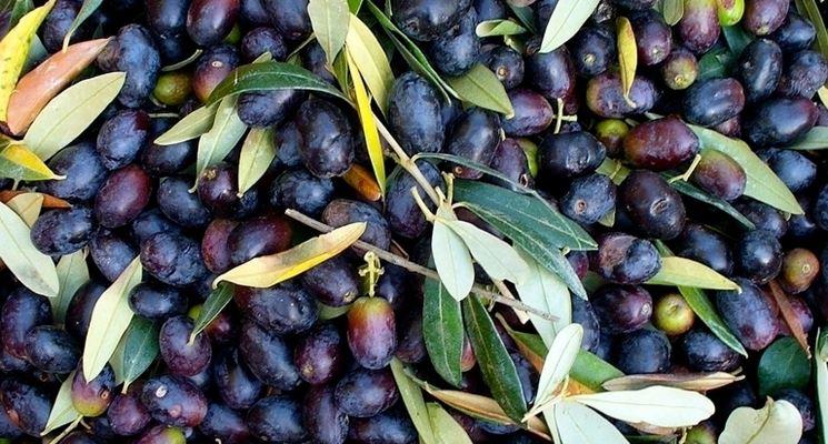 Olive derivanti da sottospecie di biancolilla