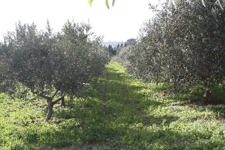 Pianta di olivo biancolilla
