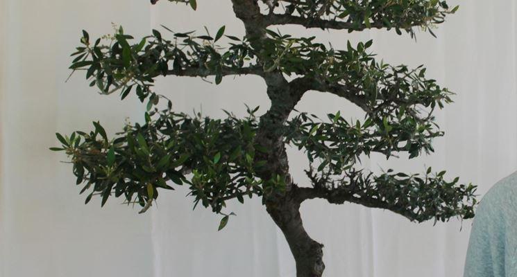 Olivo bonsai in vaso ovale