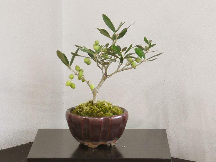 Olivo bonsai in frutto