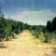Oliveti di olivi canini