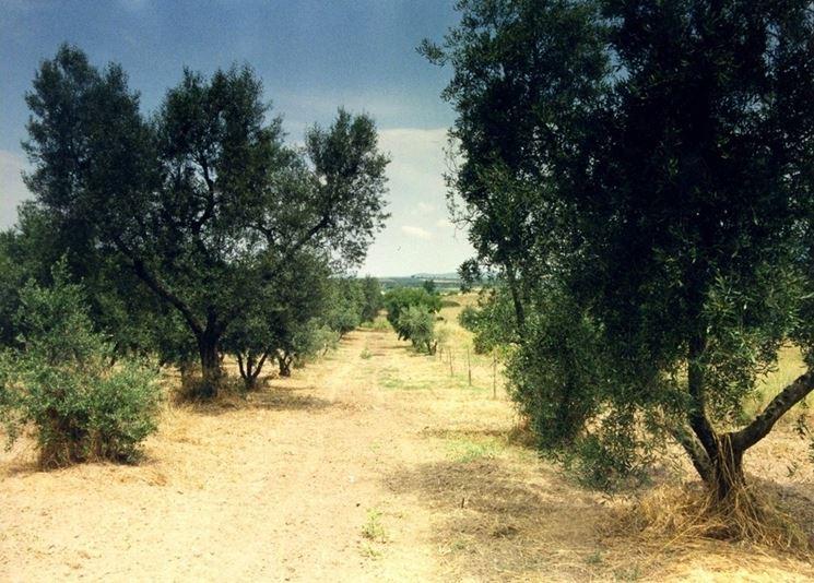 Oliveto di olivi canini