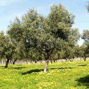 Olivo carolea