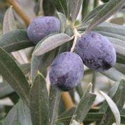 olive carolea