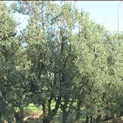 Alberi di olivo Cipressino