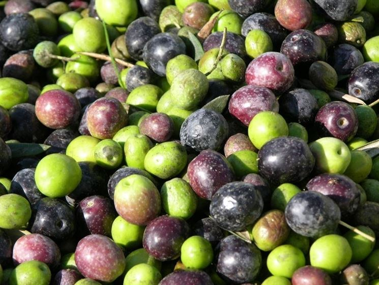 Olive della varietà Cipressino
