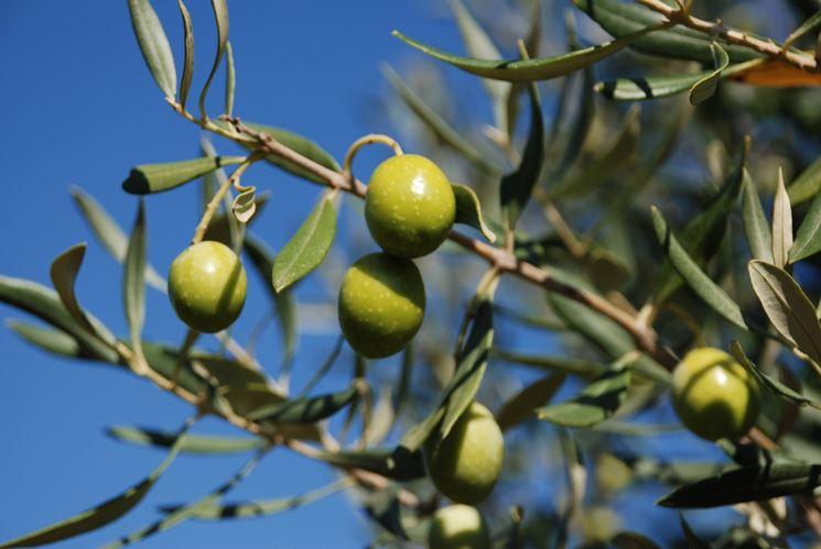 Frutti dell'Olivo