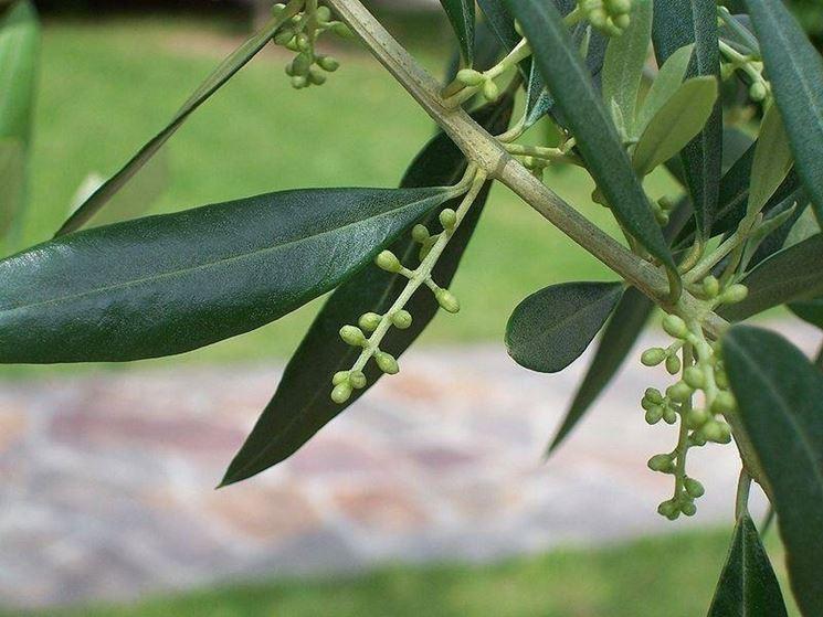 Il fiore dell'olivo