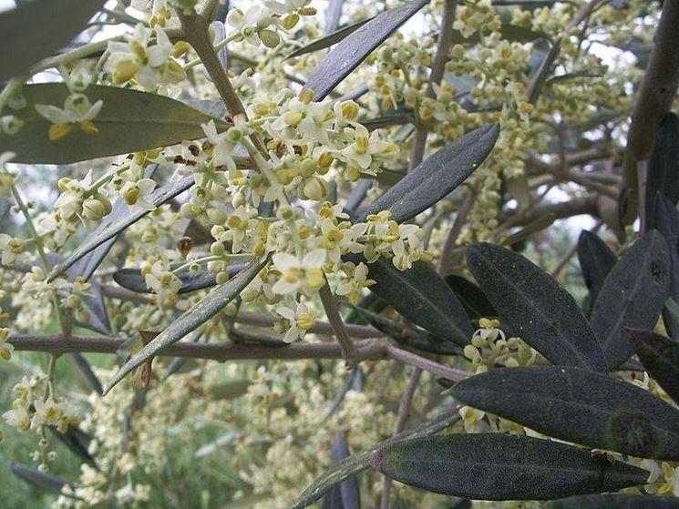 L'inflorescenza dell'olivo