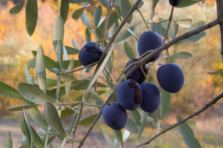 Un gruppo di olive