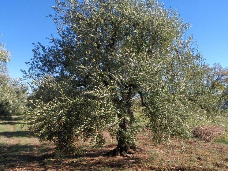 Un albero di olivo Coratina