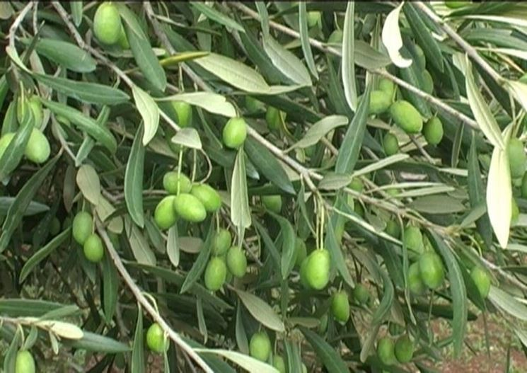 Olive Coratina verdi