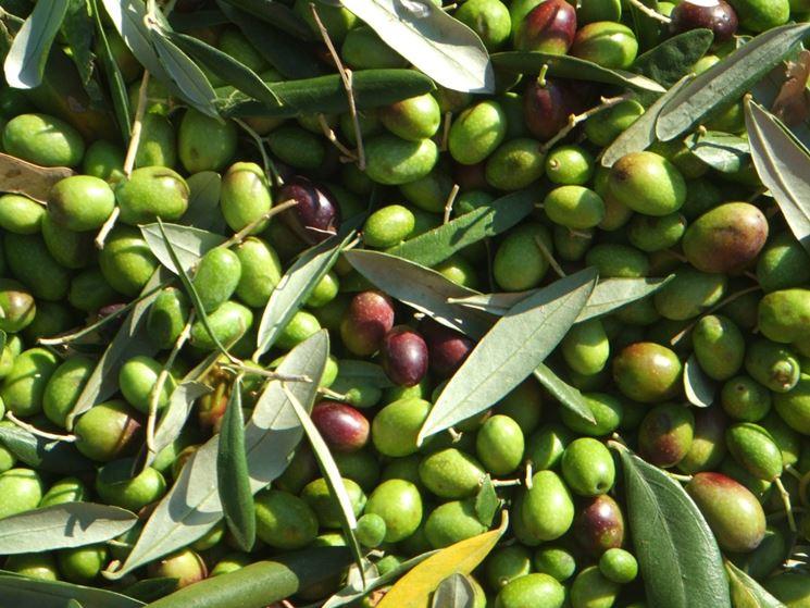 Olive Coratina appena raccolte