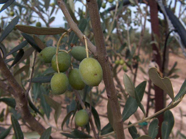 pianta dell'olivo cultivar