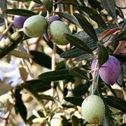 Frutti e foglie dell'olivo