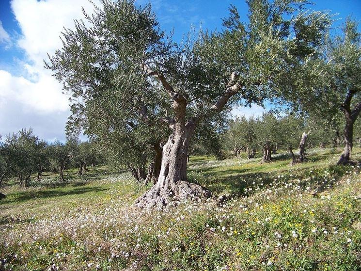 Un esemplare di olivo molisano