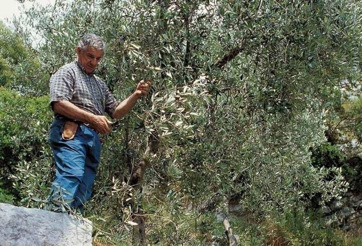 Un anziano potatore al lavoro