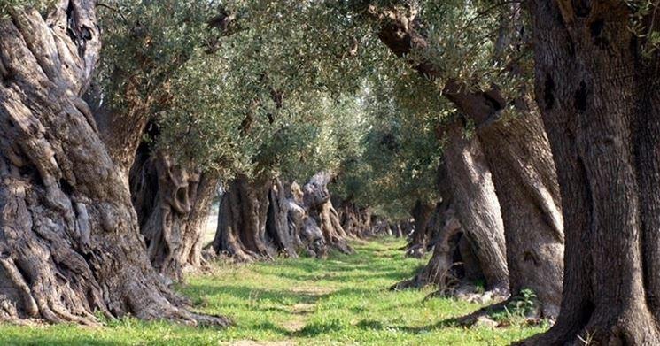 Bellissimi filari di olivi secolari pugliesi