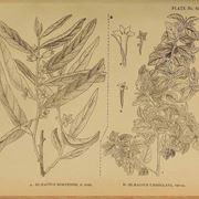 Illustrazione botanica delle foglie e dei fiori di Elaeagnus angustifolia