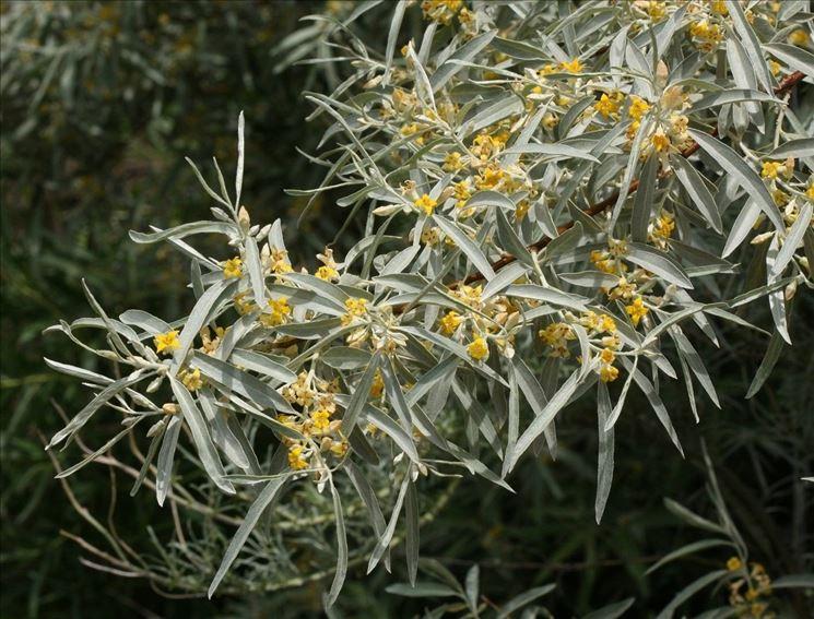 Fioritura dell'olivo di Boemia