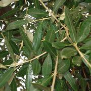 foglie olivo campo