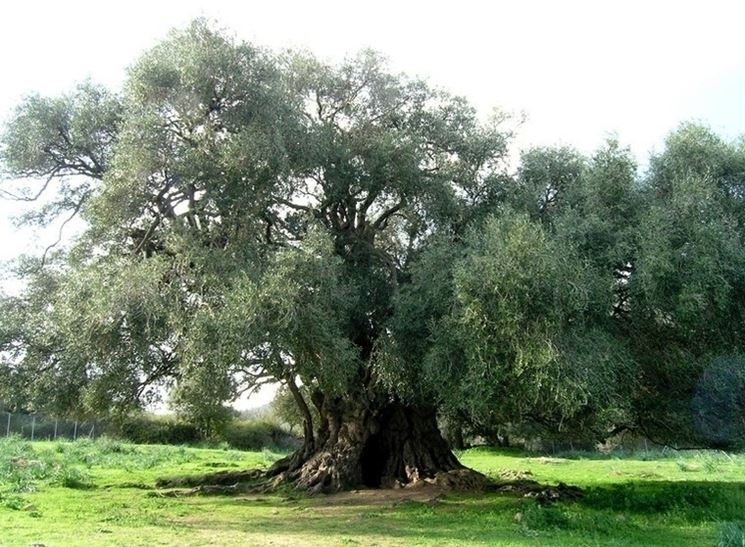olivo grande campo