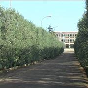 Barriera di olivo frangivento