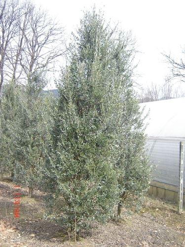 Olivo frangivento cipressino