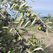 Olive della varietà frantoio