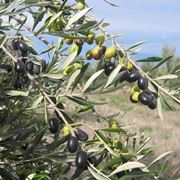 Olive della variet� frantoio