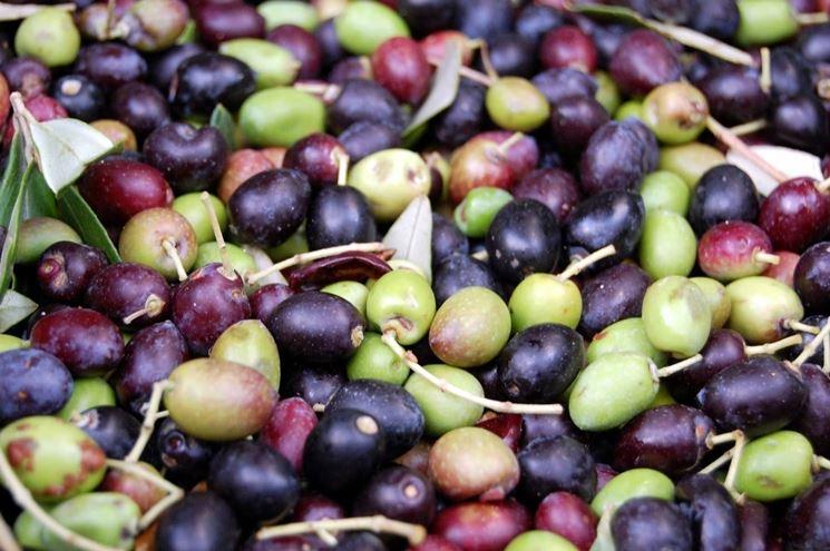 Olive frantoio appena raccolte