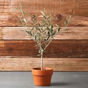 Esempio di olivo in vaso