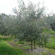 Un albero di olivo Leccino
