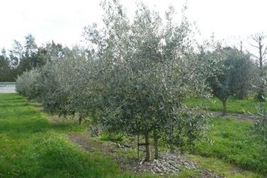 Un <em>albero di olivo</em> Leccino