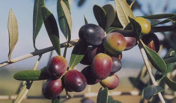 Ramo di olivo Leccino con frutti