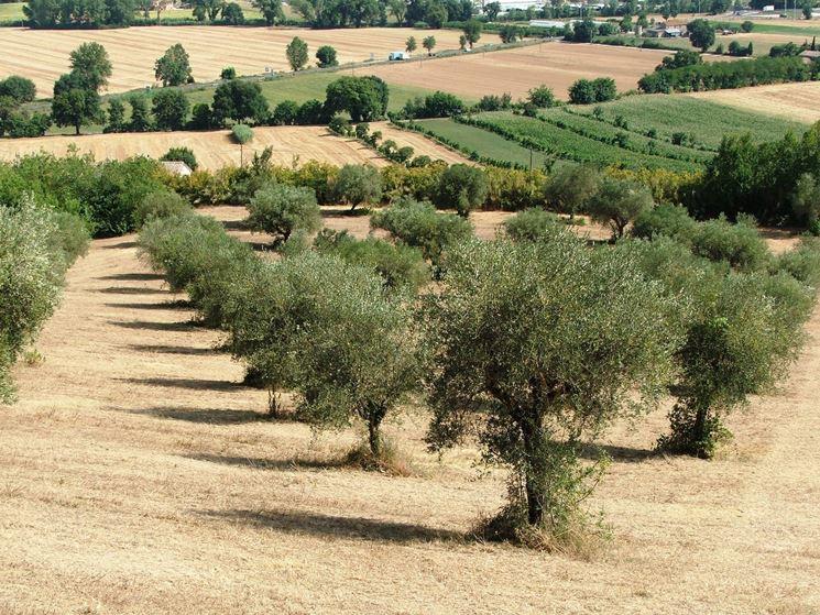 Coltivazione di olivi Leccino