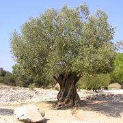 albero di ulivo