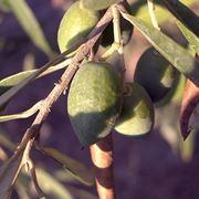 alberi di ulivo