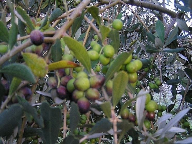 Olive Leccio