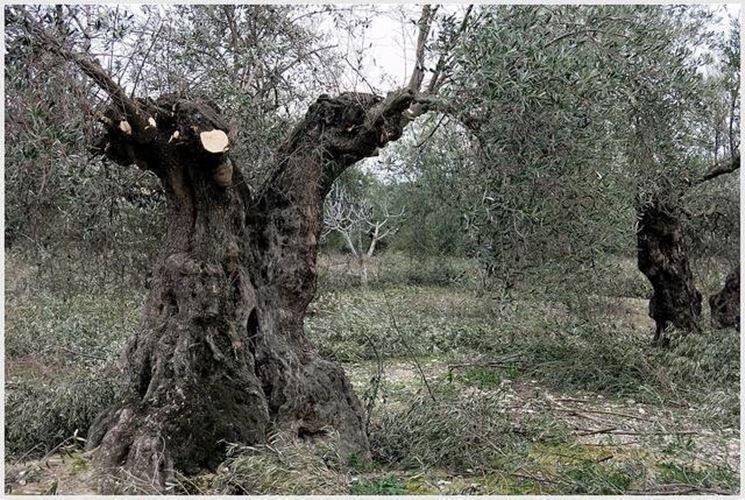 potatura pianta d'olivo