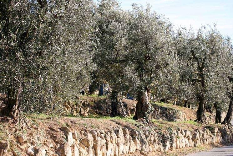 Coltivazione d'olivo maurino