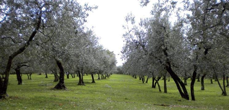 Olivo moraiolo