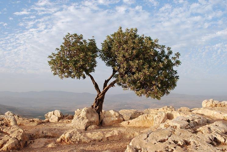 Albero olivo
