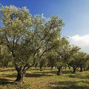 Coltivazioni piante ulivo