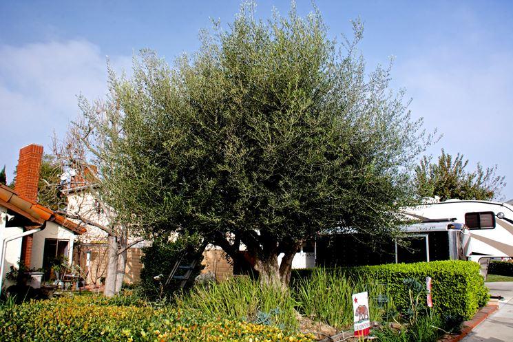 Olivo potatura