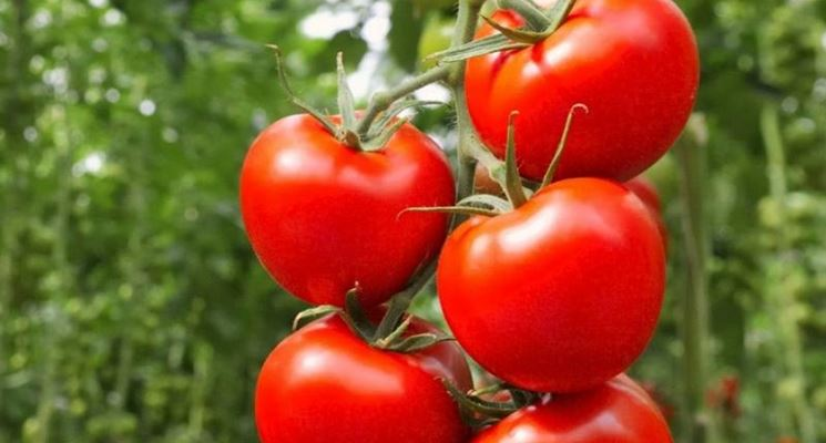 coltivare pomodori biologici