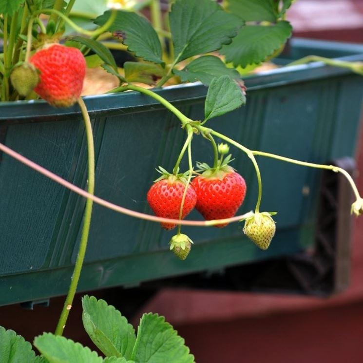 Coltivare fragole orto in balcone come coltivare le for Fragole piante in vaso