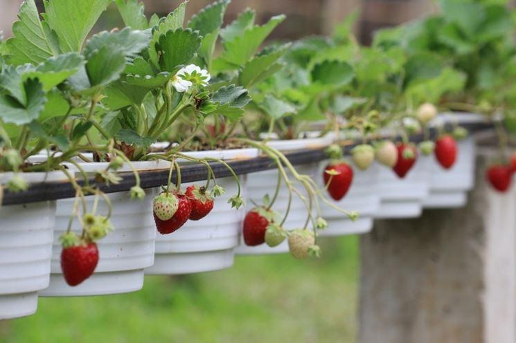 Coltivare fragole in serra